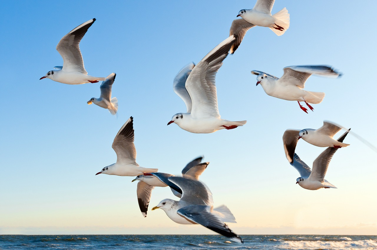 gulls möven fliegend